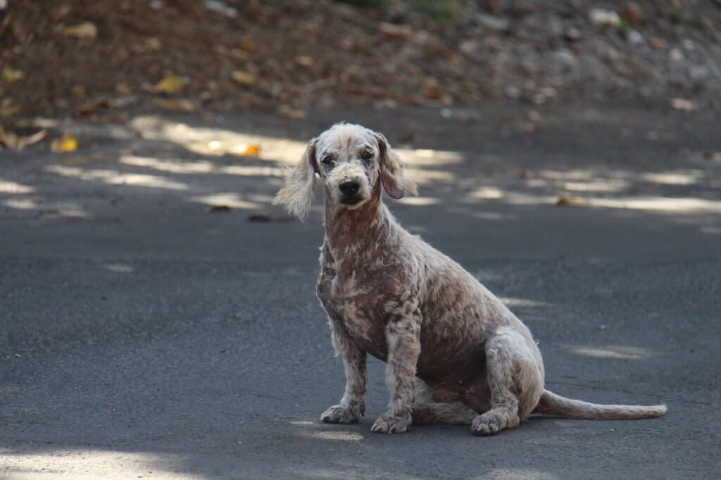 Gadehund fra Mauritius