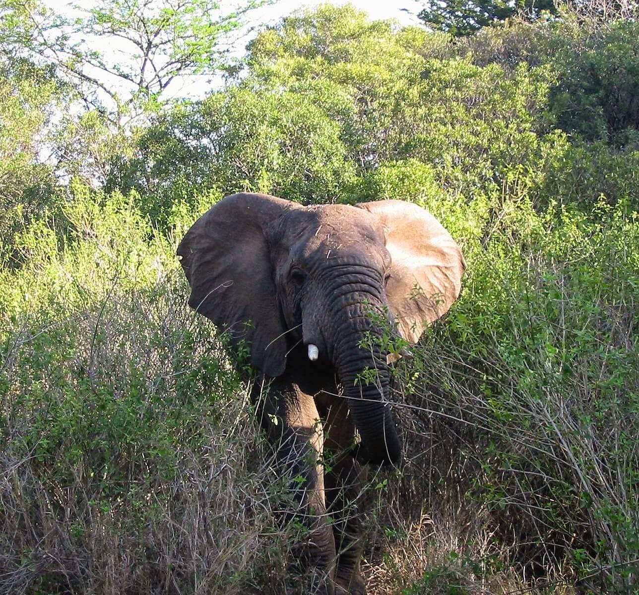 Elefanter i Syd Afrika
