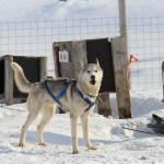 Hundeslædeturen… Se billederne!
