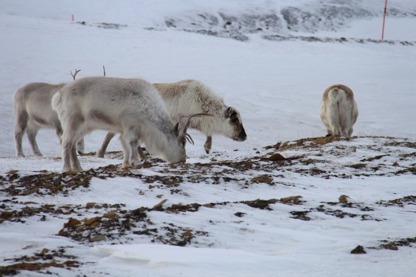 Reener paa Svalbard // Billedet er taget af @byAnnette.dk