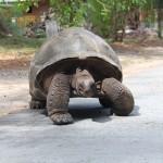 Hvor på La Digue finder man mon kæmpe skildpadderne?