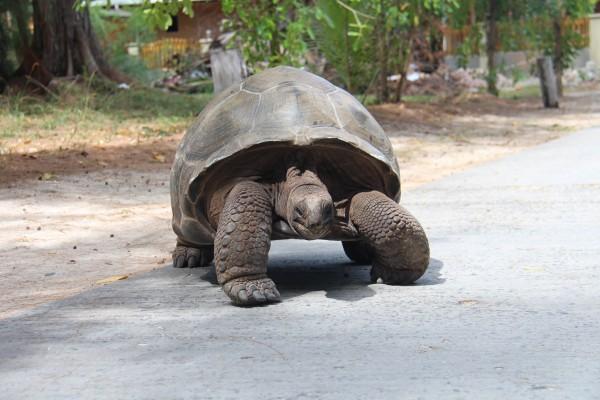 Skildpadde på vejen på La Digue / Picture by @ByAnnette.dk