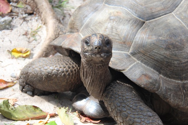 Skildpadde på La Digue / Picture by @ByAnnette.dk