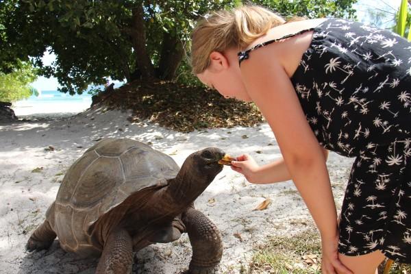 Skildpadde spiser banan på La Digue / Picture by @ByAnnette.dk